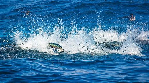 Tuna Species 97 Percent Depleted